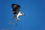 Male Osprey (Pandion haliaetus carolinensis) in flight with nesting material, Florida.  The Osprey is also known as a Seahawk, Fish Hawk, and Fish Eagle.  This successful diurnal raptor is found on all continents throughout the world with the exception of Antarctica.