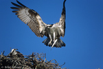 Male Osprey (Pandion haliaetus carolinensis) returning to Female at nest with Fish Prey, Sanibel Island, Florida.  The Osprey is also known as a Seahawk, Fish Hawk, and Fish Eagle.  This successful diurnal raptor is found on all continents throughout the world with the exception of Antarctica.