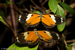 Neotropical Butterflies (Heliconius metaphorus) Male hovers over Female during Courtship. Brazil.