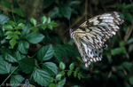 Large Tree Nymph / Paper Kite / Rice Paper Butterfly (Idea leuconoe) in Flight.  SE Asia.