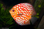 Blue Discus (Symphysodon aequifasciatus) Highly variable Freshwater Aquarium Fish.  Cichlid native to the Amazon River Basin, South America.