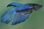 Siamese Fighting Fish / Betta (Betta splendens) male spreads his fins in courtship display.  Popular freshwater aquarium fish, originally native to Thailand, peninsular Malaysia, & Cambodia.  The bright iridescent colors and long fins in captive varieties were developed through selective breeding.