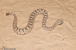 Colorado Desert Sidewinder (Crotalus cerastes laterorepens) Venomous, with an LD-50 (mg/kg) of venom of 2.6 intravenous, 4 intraperitoneal, & 5.5 subcutaneous.  The characteristic sidewinding movement is thought to give these snakes better traction on desert sand.  Subspecies range = United States (AZ & CA) and Mexico (Sonora & Baja California).
