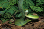 Boomslang (Dispholidus typus) slithering (locomotion).  Dangerous  Rear-Fanged Colubrid.  Venomous snake, with an LD-50 of venom = 0.071 mg/kg intravenous.  Southern Africa.