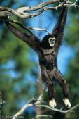 White-Handed Gibbon (Hylobates lar) moving through trees by swinging arm over arm (brachiation).  China, Thailand, Laos, Burma, Malay Peninsula, & Sumatra.  Endangered Species (USESA & IUCN).  CITES I.
