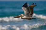 Eastern Brown Pelican (Pelecanus occidentalis carolinensis) in Breeding Plumage  Flying low over the water in the Gulf of Mexico, Florida.