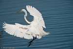 Great Egret (Ardea alba egretta / Syn: Egretta alba & Casmerodius albus) in Breeding Plumage in Flight, landing in water, Florida.  The Great Egret is the symbol of the National Audubon Society.