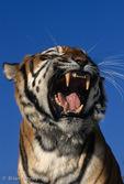 Bengal Tiger (Panthera tigris tigris) Snarling, India.  Endangered Species (USESA & IUCN).  CITES I.