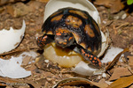 "Red-footed Tortoise (Chelonoidis carbonaria / Syn: Geochelone carbonaria) Hatching.  The ""egg tooth"" used to slice through the egg shell on hatching is still visible on the snout.  This hard, sharp bit of keratin falls off a few days after hatching.  The remaining egg yolk, visible beneath the hatchling, will be completely absorbed by the body within this same period.  Central & South America (Panama, Colombia, Venezuela, Brazil, Caribbean Islands, Guyana, Surinam, French Guiana, Bolivia, Paraguay, & Argentina) CITES II."