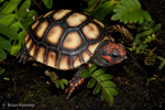 Cherry-Headed Red-Footed Tortoise / Cherryhead Redfoot Tortoise (Chelonoidis carbonaria / Syn: Geochelone carbonaria) Hatchling.  The 