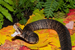 Florida Cottonmouth (Agkistrodon piscivorus conanti) Striking.  Venomous Snake, with an LD-50 (mg/kg) of venom = 25.8 subcutaneous, 2.0-4.0 intravenous, & 3.8-6.8 intraperitoneal.  Among leaf litter on forest floor in Fall.  Subspecies range = FL &  GA.  Species range = eastern United States.