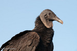 North American Black Vulture (Coragyps a. atratus), sw Florida.  The Black Vulture is a large bird of prey, with a 5 ft (1.52 m) wingspan.  Subspecies range = s United States and n Mexico.  Species range = s United States , Mexico, Central America, and most of South America.   Protected under the Migratory Bird Treaty Act of 1918 in the United States.