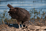North American Black Vulture (Coragyps a. atratus), feeding on dead fish after a massive cold-weather fish kill, Myakka River State Park, sw Florida.  The Black Vulture is a large bird of prey, with a 5 ft (1.52 m) wingspan.  Subspecies range = s United States and n Mexico.  Species range = s United States , Mexico, Central America, and most of South America.   Protected under the Migratory Bird Treaty Act of 1918 in the United States.