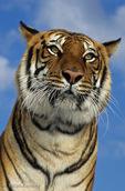 Bengal Tiger (Panthera tigris tigris) India.  Endangered Species (USESA & IUCN).  CITES I.