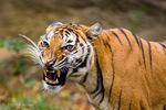 Indochinese Tiger (Panthera tigris corbetti) Snarling, Aggression, Threat Display.  Thailand, China, Myanmar, Cambodia, Laos, Vietnam, & Malaysia.  Endangered Species (IUCN & USESA).  CITES I.