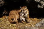 Cougar / Mountain Lion / Panther / Puma (Puma concolor / formerly: Felis concolor) mother picking up kitten by the scruff of its neck, Montana.
