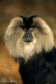 Lion-tailed Macaque (Macaca silenus) Western Ghats, India.  Endangered (USESA & IUCN).  CITES I.