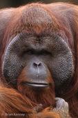 Borneo Orangutan (Pongo pygmaeus) Sexual Dimorphism ~ males have large cheek pads.  Borneo, Indonesia.  Endangered species (USESA & IUCN).  CITES I.