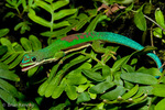 Lined Day Gecko / Striped Day Gecko (Phelsuma lineata bifasciata / Syn: P. l. chloroscelis)  Madagascar.  CITES II.