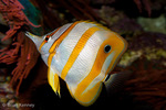 Copperband Butterflyfish / Beak Coralfish (Chelmon rostratus) saltwater reef fish found in Pacific & Indian Oceans.