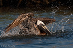 Brown Pelican / Eastern Brown Pelican(Pelecanus occidentalis carolinensis) Adult in Breeding Plumage Bathing in Gulf of Mexico, Florida.  State Bird of Louisiana.  Protected by the Migratory Bird Treaty Act of 1918.