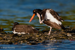 American Oystercatcher / American Pied Oystercatcher / Oystercatcher (Haematopus palliatus) Adult Preening / using Foot as Comb, Gulf of Mexico, Florida.  Range = coastal areas of  North, Central, & South America from Baja California & New England south to Argentina & Chile.  Protected by the Migratory Bird Treaty Act of 1918.