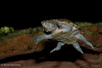 """Flattened Musk Turtle (Sternotherus depressus) Swimming, Underwater.   Black Warrior River Basin, nw Alabama.  3-4.5"""" (7.6 -11.4 cm) Threatened (USESA).  Critically Endangered (IUCN). Interbreeds with the Stripe-necked Musk Turtle (Sternotherus minor) in parts of its range, and some scientists consider it to be a subspecies.  Digitally retouched to remove floating debris in water."""
