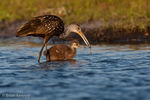 Limpkin / Crying Bird (Aramus guarauna) adult feeding baby the meat from an Apple Snail, Myakka River State Park, southwest Florida.  The Limpkin feeds primarily on the apple snail, but also takes freshwater mussels and other mollusks. Species Range = United States (FL), the Caribbean, Central America, & South America.