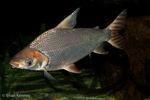 Silver Prochilodus (Semaprochilodus taeniurus) Freshwater Fish, Amazon River, South America