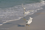 Snowy Egrets (Egretta thula) Fighting, Siesta Key Beach, Gulf of Mexico, southwest Florida.  This aerial combat is a fierce, but brief, territorial dispute usually only lasting seconds.  The Snowy Egret's breeding range extends from the lower Great Lakes in the United States to South America.  Protected by law under the Migratory Bird Treaty Act.