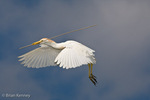 Cattle Egret / Western Cattle Egret (Bubulcus i. ibis)  in non-peak breeding plumage, in flight, landing with nesting material, Florida.  The Cattle Egret is native to parts of Africa, Asia, and Europe, but it has successfully colonized much of the world.