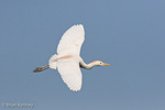 Cattle Egret (Bubulcus ibis) in Flight in non-peak breeding plumage (tan head and back feathers, but no color to lores or feet), Florida.  The Cattle Egret is native to parts of Africa, Asia, and Europe, but it has successfully colonized much of the world.
