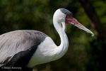 Wattled Crane (Bugeranus carunculatus) e & s Africa.  Vulnerable (IUCN).  CITES II.