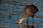 Limpkin / Crying Bird (Aramus guarauna) adult hunting in wetland, Florida.  The Limpkin feeds primarily on the apple snail, but also takes freshwater mussels and other mollusks. Species Range = United States (FL), the Caribbean, Central America, & South America.