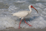 White Ibis / American White Ibis (Eudocimus albus / Syn: E. ruber) Walking along the Surfline, looking for food, Florida.  Ranges from the mid-Atlantic coast of the United States to South America.