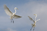 Great Egret / Great White Egret / Common Egret (Ardea alba egretta / Syn: Egretta alba egretta & Casmerodius albus egretta).  Two Male Great Egrets Fighting in the Sky in a Territorial Dispute over a Nesting Site at a busy Rookery in southwest Florida.