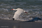 White Ibis (Eudocimus albus / Syn: E. ruber) in Breeding Plumage, Flying low over the surfline, Gulf of Mexico, Florida.  The White Ibis ranges from the mid-Atlantic coast of the United States to South America.  During the mating season, its face and legs turn a bright red color.