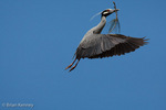 Yellow-Crowned Night Heron (Nycticorax violaceus / Syn: Nyctanassa violacea) in full Breeding Plumage, in Flight, with Nesting Material, Florida.  Range = e United States to ne South America.
