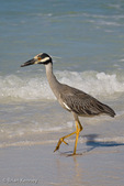 Yellow-crowned Night Heron (Nycticorax violaceus / Syn: Nyctanassa violacea) looking for food in shallow water on Siesta Key Beach in southwest Florida.  Found in swamps, marshes, estuaries, and shoreline areas from the eastern United States to north-eastern South America.