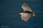 Black-crowned Night Heron (Nycticorax nycticorax hoactli) Flying low over water, returning to nest with nesting material, Florida.  Subspecies range = Canada to Patagonia.  Species range = tropical areas in the Americas, Europe, Asia, & Africa.