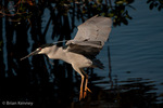 Black-crowned Night Heron (Nycticorax nycticorax hoactli) in full Breeding Plumage, in Flight, landing with Nesting Material at a rookery on a Red Mangrove island, Florida.  This subspecies breeds from Canada south to Patagonia (South America).