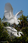 Great Egret / Great White Egret / Common Egret (Ardea alba egretta / Syn: Egretta alba egretta; Casmerodius albus egretta) Mated Pair, in Breeding Plumage, Florida.  Subspecies range = North America.  Species found in tropical and temperate areas throughout the world.