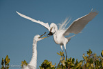 Great Egret / Great White Egret / Common Egret (Ardea alba egretta / Syn: Egretta alba egretta; Casmerodius albus egretta) handing Nesting Material to mate, Florida.  Subspecies range = North America.  Species found in tropical and temperate areas throughout the world.