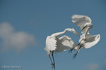 Great Egret / Great White Egret / Common Egret (Ardea alba egretta / Syn: Egretta alba egretta & Casmerodius albus egretta).  Two Male Great Egrets Fighting in the Sky in a Territorial Dispute over a Nesting Site at a busy Rookery in Florida.  Subspecies range = North America.  Species found in tropical and temperate areas throughout the world.