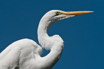 Great Egret / Great White Egret / Common Egret (Ardea alba egretta / Syn: Egretta alba egretta; Casmerodius albus egretta) Florida.  Subspecies range = North America.  Species found in tropical and temperate areas throughout the world.