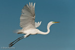 Great Egret / Great White Egret / Common Egret (Ardea alba egretta / Syn: Egretta alba egretta; Casmerodius albus egretta) in Breeding Plumage, in Flight, Florida.  Subspecies range = North America.  Species found in tropical and temperate areas throughout the world.