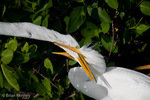 Great Egret / Great White Egret / Common Egret (Ardea alba egretta / Syn: Egretta alba egretta; Casmerodius albus egretta) Chick Begging for Food, Florida.  Subspecies range = North America.  Species found in tropical and temperate areas throughout the world.