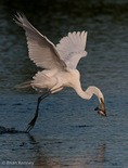 """Great Egret / Great White Egret / Common Egret (Ardea alba egretta / Syn: Egretta alba egretta; Casmerodius albus egretta) catching Channel Catfish (Ictalurus punctatus) while in Flight, Florida.  Subspecies range = North America.  Species found in tropical and temperate areas throughout the world.  Nikon D3x horizontal image cropped to vertical (8"""" X 10.5"""" @ 384 dpi) without re-sizing.  Original, uncropped image is also available on website."""