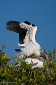 """Mated Pair of Wood Storks (Mycteria americana) engaged in a Courtship Ritual called """"Bill Clacking"""" where they strike their bills together loudly and repeatedly.  The male, standing on top of the female with his wings out for balance, is just about to mate with her at a Rookery on a Red Mangrove (Rhizophora mangle) Island in Florida. The reproductive cycle is triggered by decreasing water levels that concentrate fish prey.  Endangered Species (USESA).  Range = se United States, the Caribbean, Central America, & South America."""