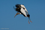 Wood Stork (Mycteria americana) in Flight, Landing, with Nesting Material, Florida.  Endangered Species (USESA).  Range = se United States, Central America, South America, and the Caribbean.
